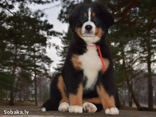 Bernese Mountain Dog 107800.jpg
