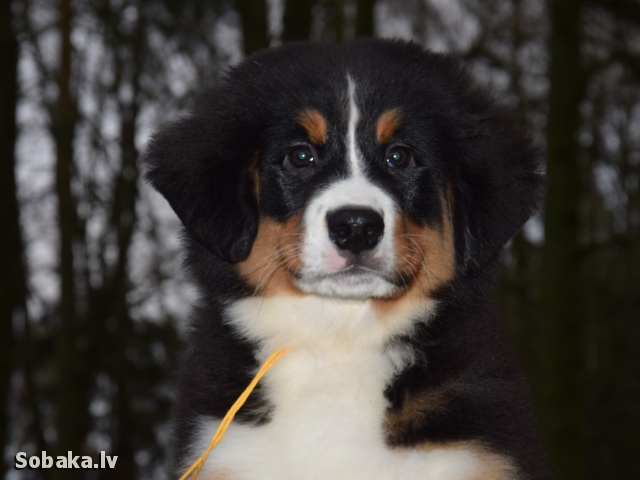 Bernese Mountain Dog 107801.jpg