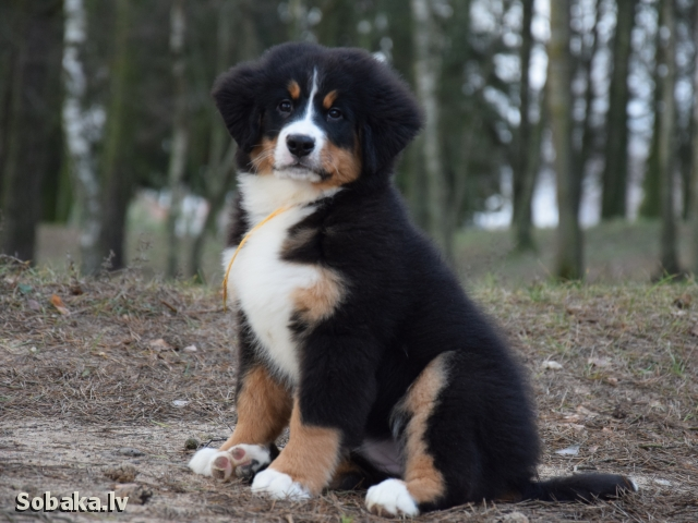 Bernese Mountain Dog 107802.jpg