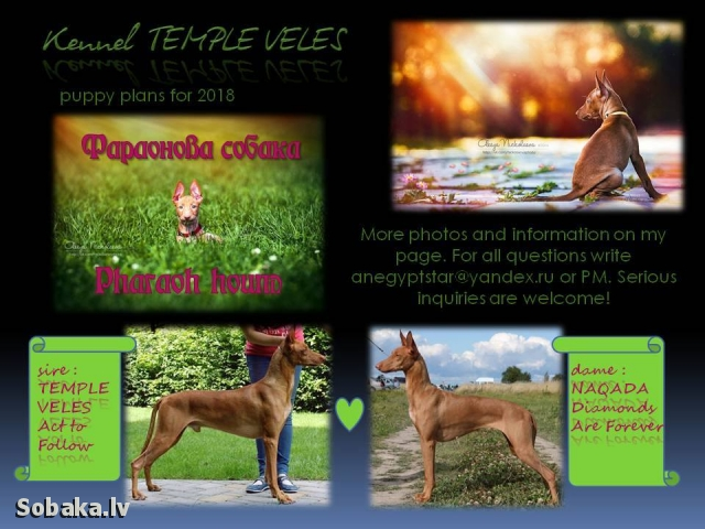 Pharaoh Hound 