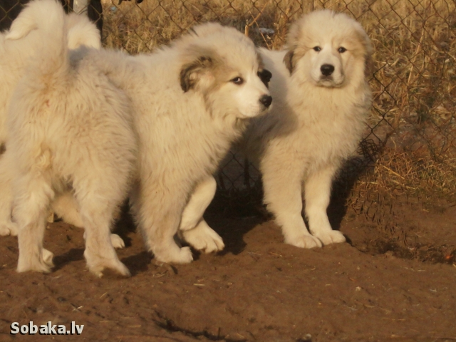 PYRENEAN MOUNTAIN DOG => PHOTOS  