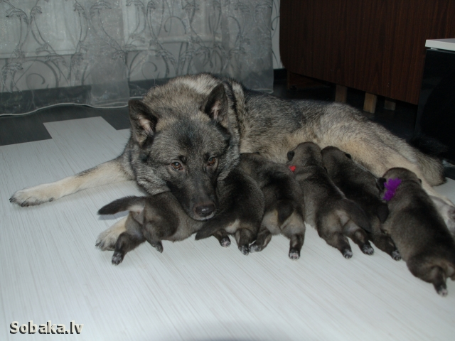 NORWEGIAN ELKHOUND GREY => PHOTOS  