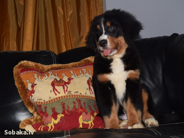Dog kennel NASHI CHUDESA. 