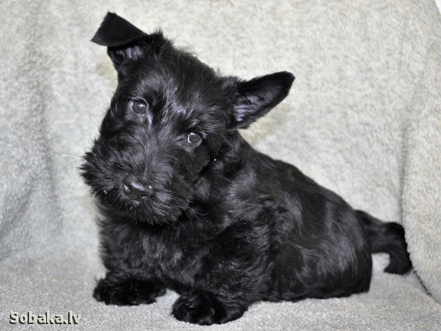 Scottish Terrier 108118.jpg
