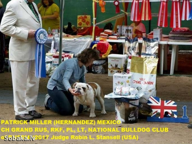 English Bulldog 108143.jpg