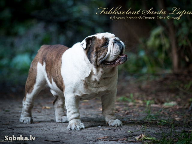 English Bulldog 108146.jpg