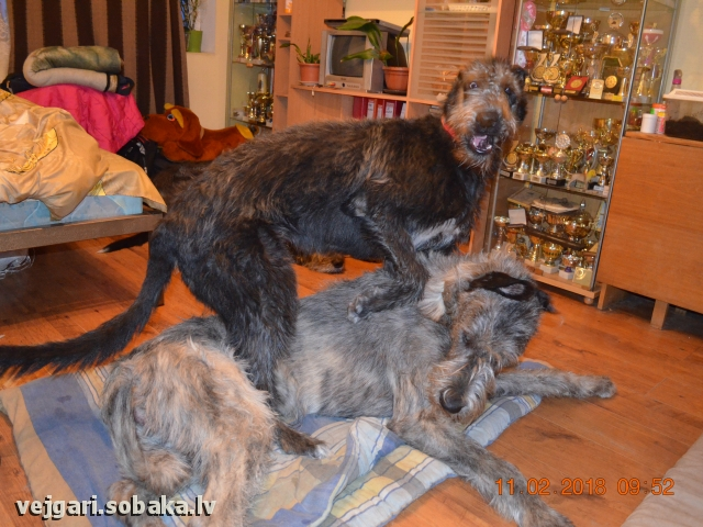 Irish Wolfhound 108196.jpg