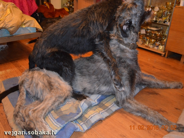 Irish Wolfhound 108199.jpg