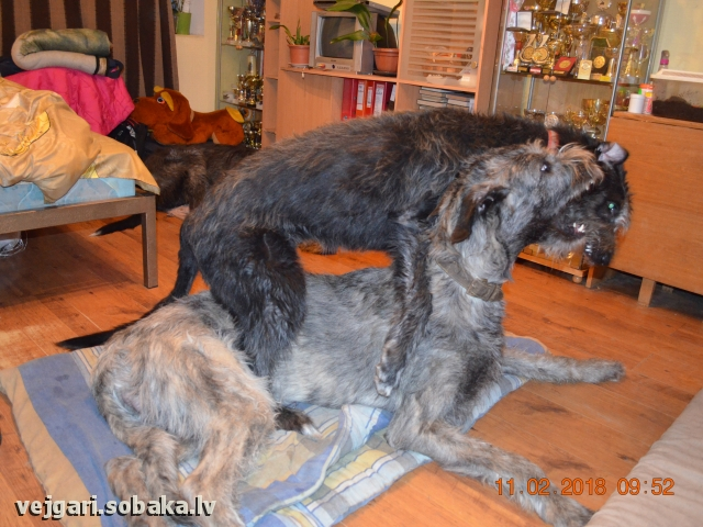 Irish Wolfhound 108200.jpg