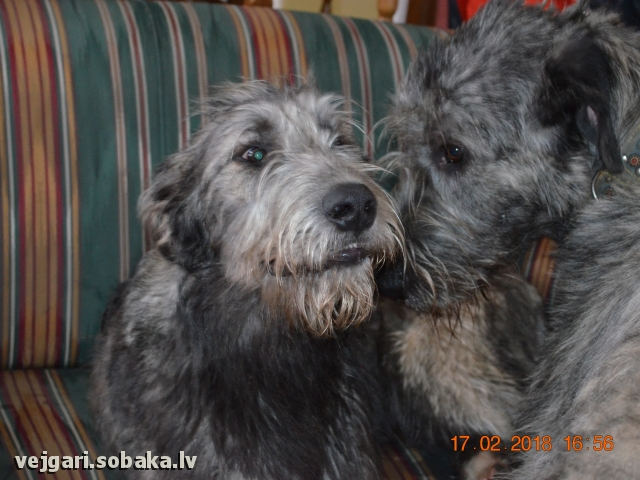 Irish Wolfhound 108271.jpg