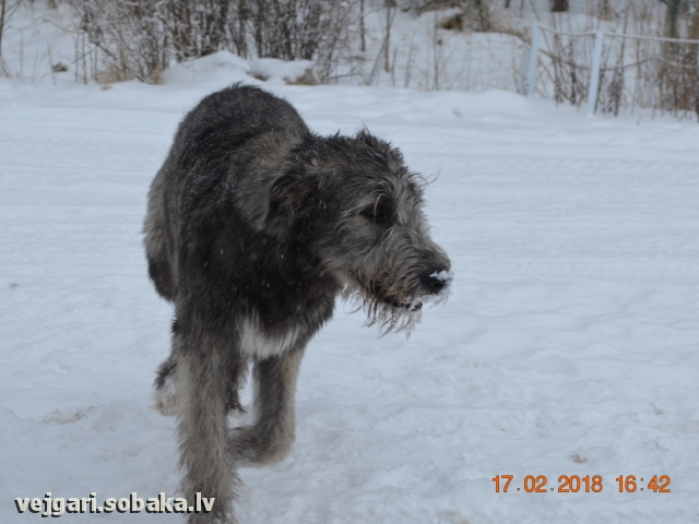 Irish Wolfhound 108273.jpg