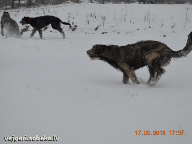 Irish Wolfhound 108274.jpg