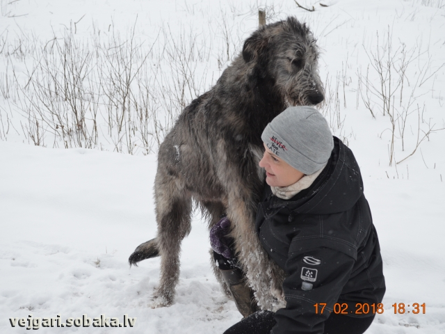 Irish Wolfhound 108280.jpg