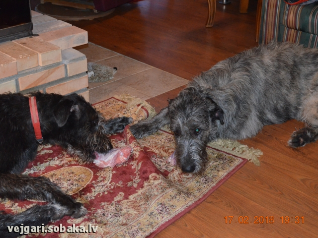 Irish Wolfhound 108296.jpg