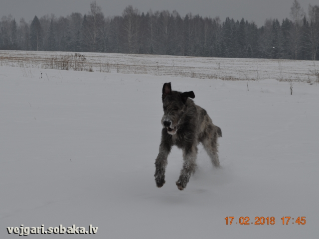 Irish Wolfhound 108304.jpg