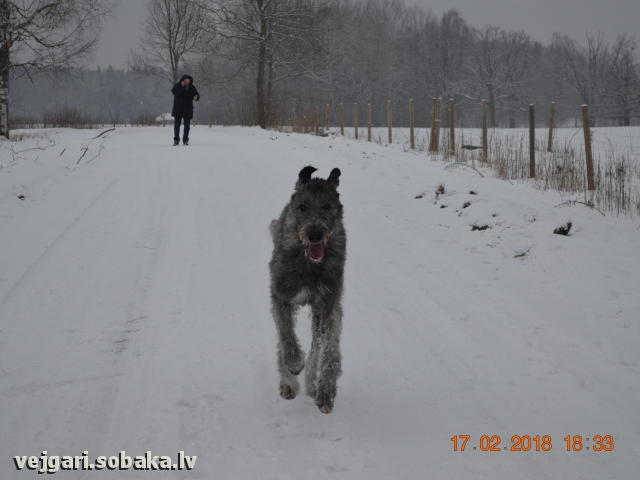 Irish Wolfhound 108309.jpg