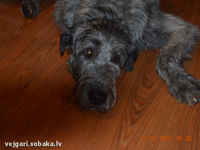Irish Wolfhound 108313.jpg