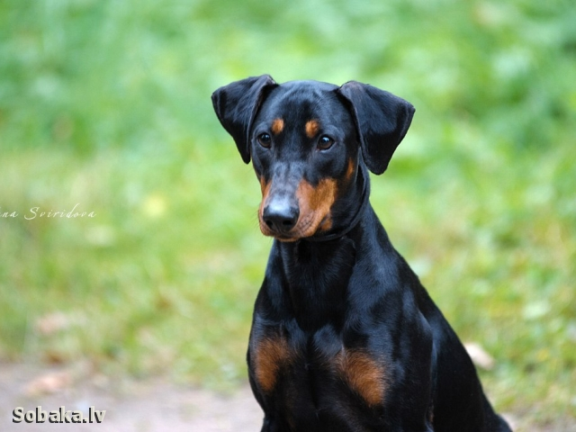 GERMAN PINSCHER => DOG KENNEL  