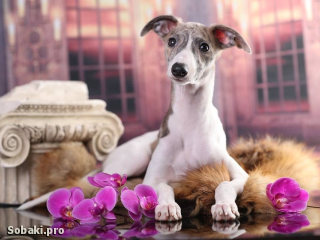 WHIPPET => PHOTOS  