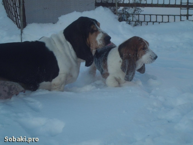BASSET HOUND => PHOTOS  