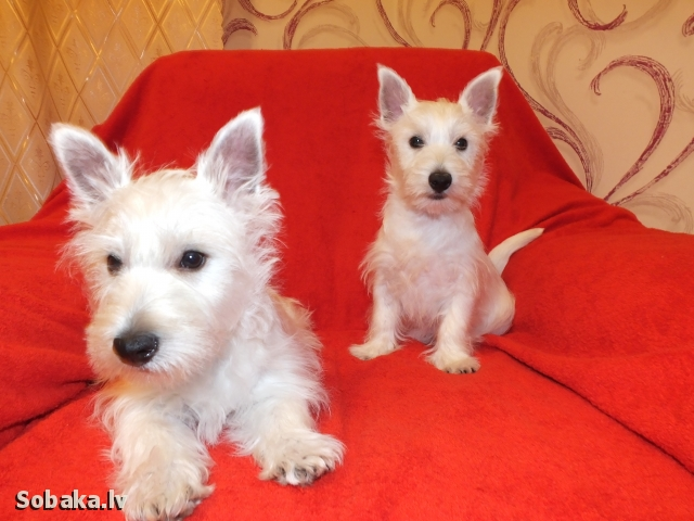 West Highland White Terrier 108527.jpg