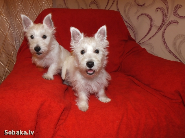 West Highland White Terrier 108528.jpg