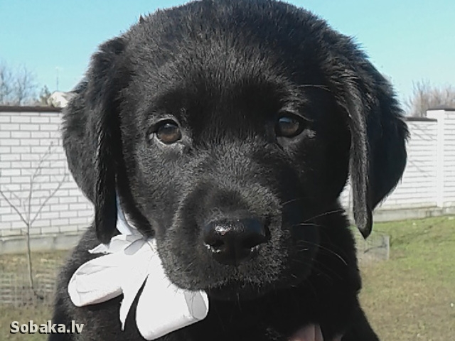 Labrador Retriever 108707.jpg