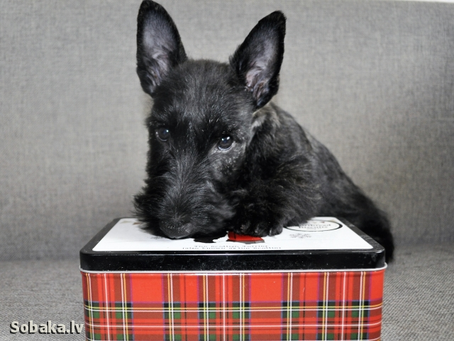 SCOTTISH TERRIER => PHOTOS  