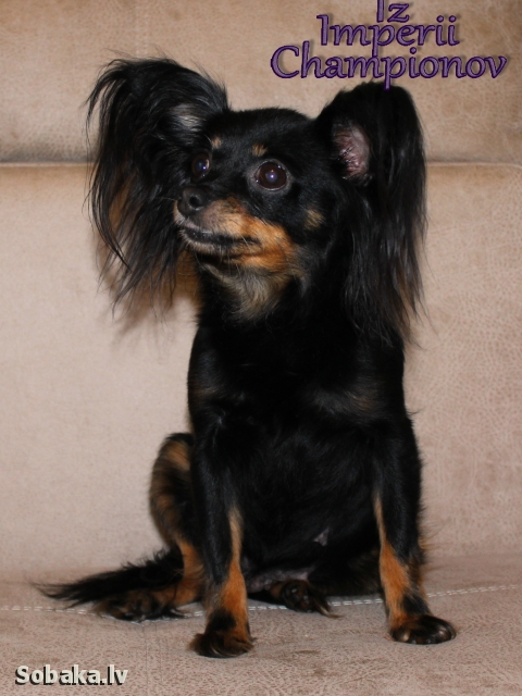 Russian Toy Terrier 108837.jpg