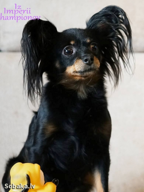Russian Toy Terrier 108838.jpg