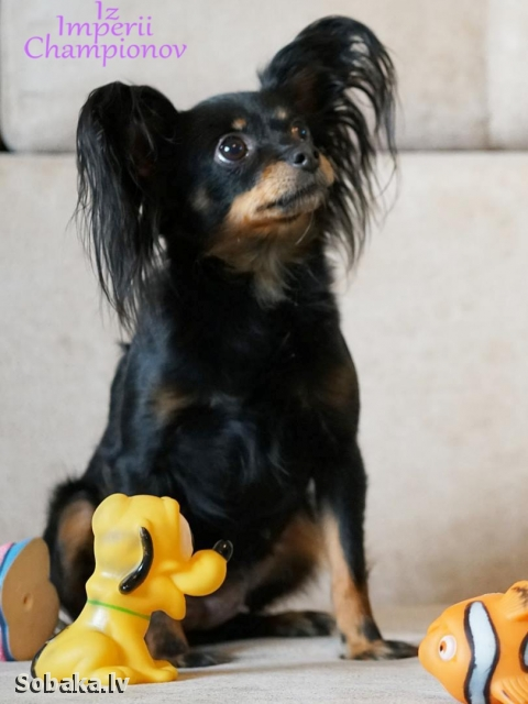 Russian Toy Terrier 108839.jpg