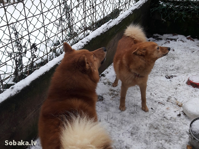 FINNISH SPITZ => THE DOG  