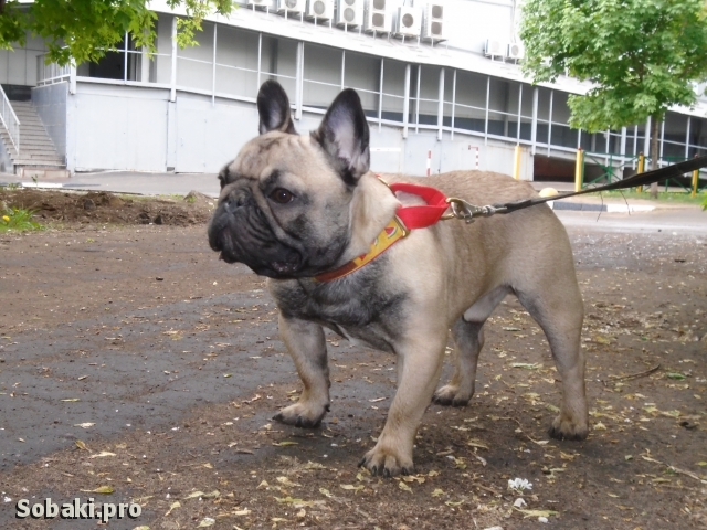 French Bulldog 108890.jpg