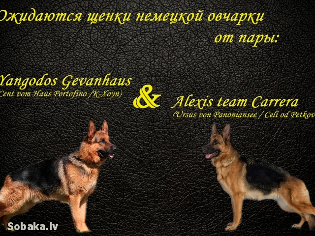 GERMAN SHEPHERD DOG => PHOTOS  