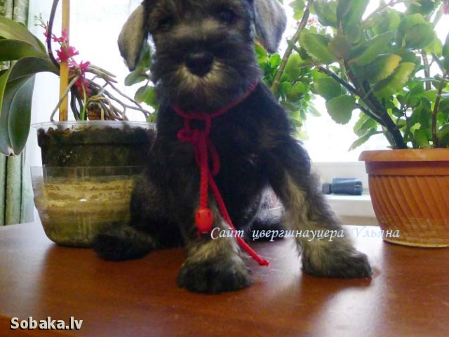 Цвергшнауцер щенок. 