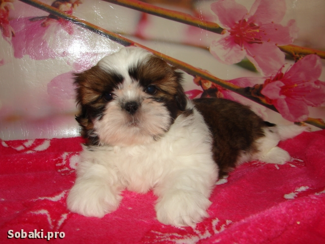 SHIH TZU => THE DOG  