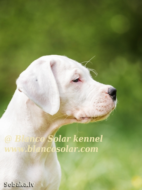 DOGO ARGENTINO => PHOTOS  