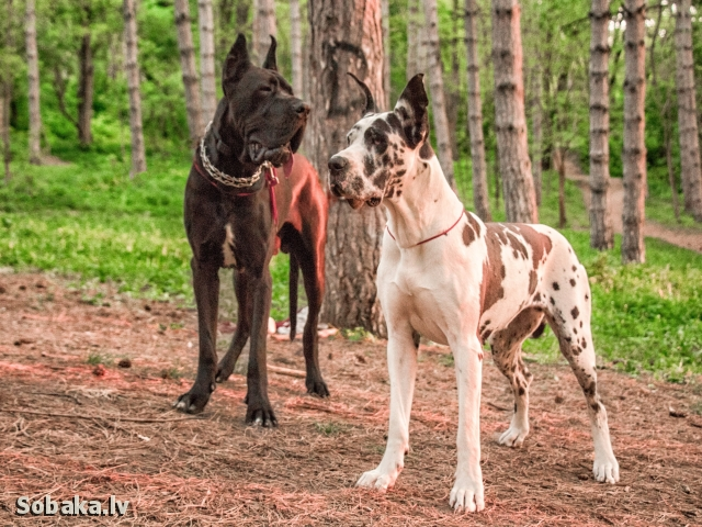 Great Dane 109006.jpg