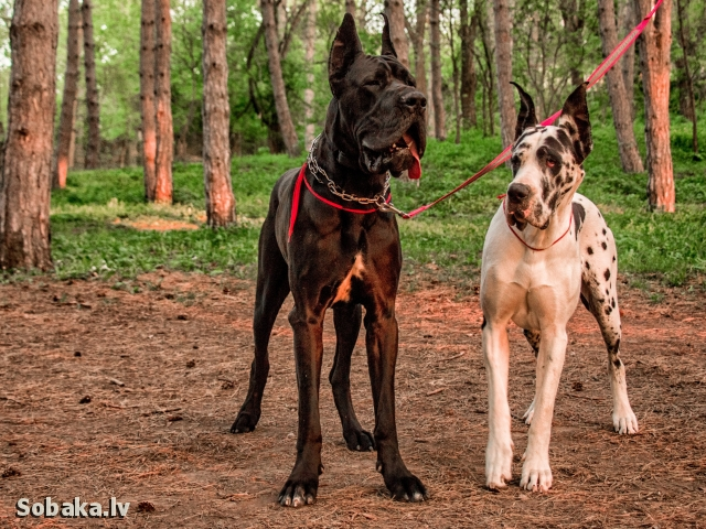 Great Dane 109010.jpg