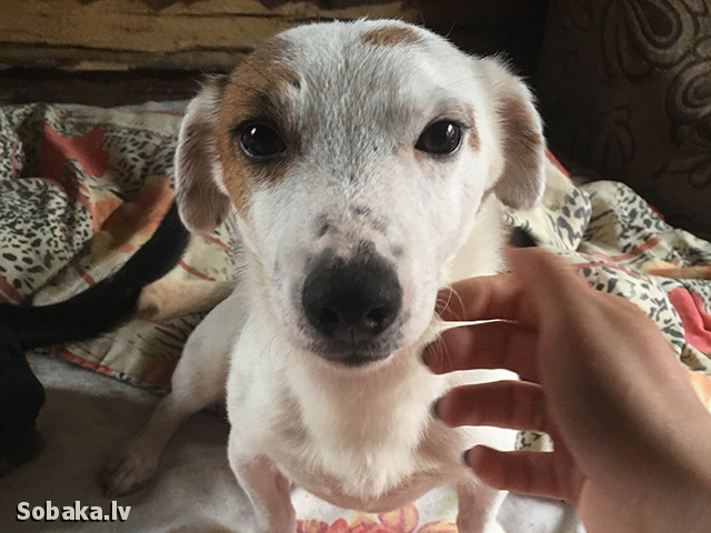 JACK RUSSELL TERRIER => THE DOG  