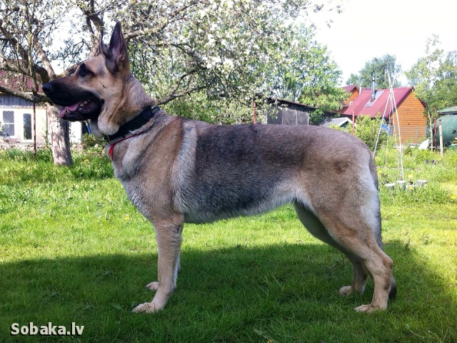 EAST EVROPEAN SHEPHERD DOG => THE DOG  