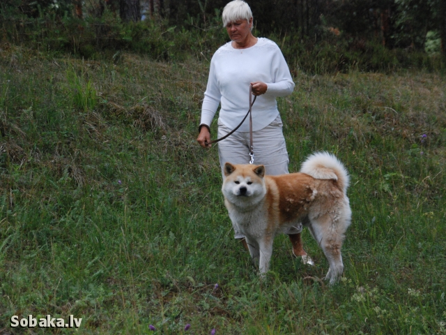 JAPANESE AKITA INU => PHOTOS  