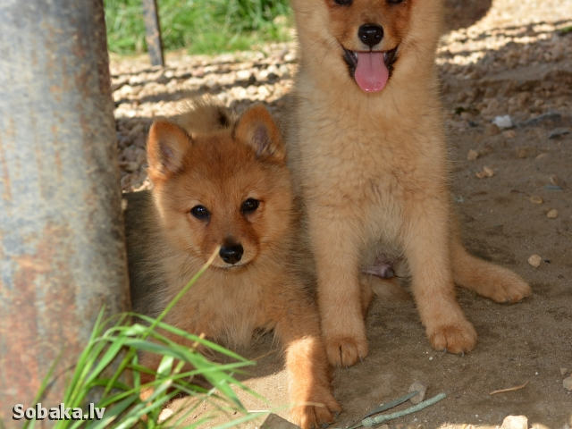 FINNISH SPITZ => PHOTOS  