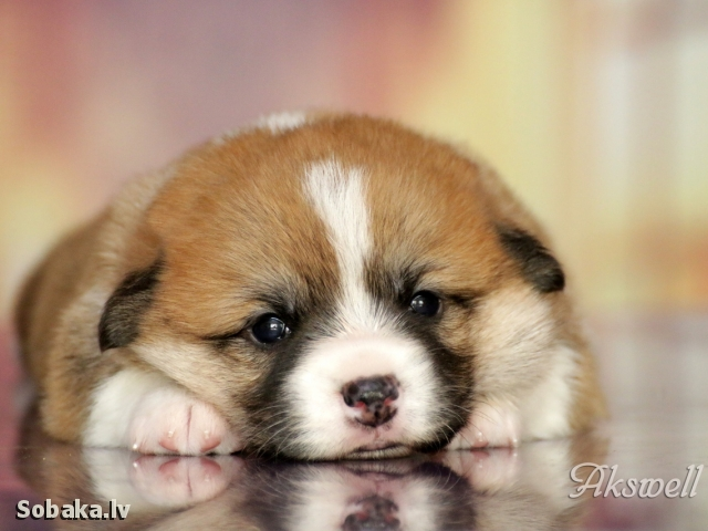 WELSH CORGI PEMBROKE => PHOTOS  