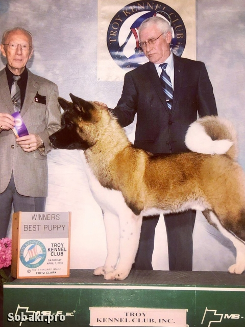 GREAT JAPANESE DOG, AMERICAN AKITA => THE DOG  