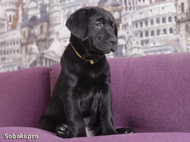 Labrador Retriever 109284.jpg