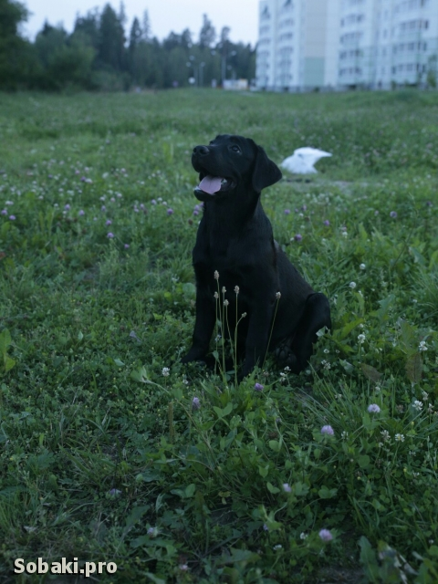Labrador Retriever 109285.jpg