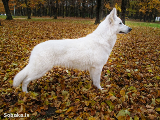 WHITE SWISS SHEPHERD DOG => THE DOG  