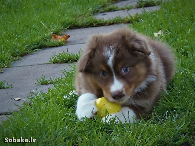 AUSTRALIAN SHEPHERD => PHOTOS  