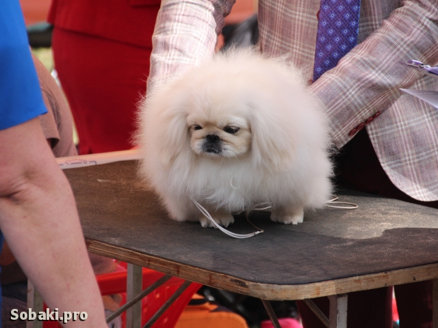PEKINGESE => THE DOG  